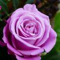【オーラ診断・鑑定】紫色のオーラを持つ人の特徴と見分け方